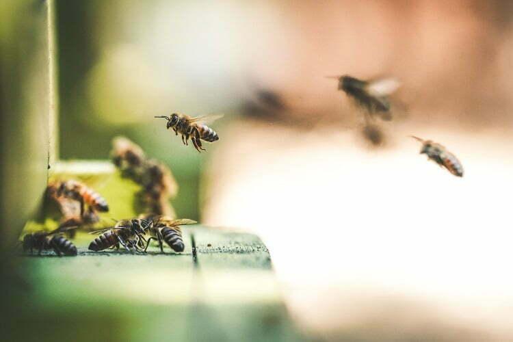 Pazite na pčele u ponedeljak – zbog komaraca